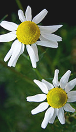 German Chamomile Flowers (photo by T. Voekler)