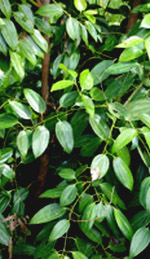 Cinnamon Leaves