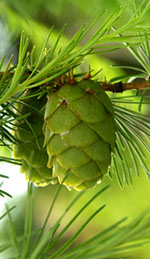 Fir branch with a green cone