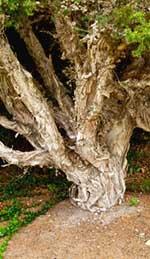 """Paperbark""  Niaouli tree"