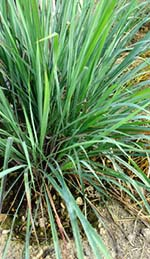 Palmarosa Grass in the Garden