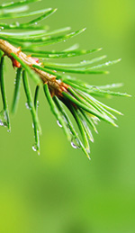 Pine Needle Oil Strengthens the Immune System and Improves Focus
