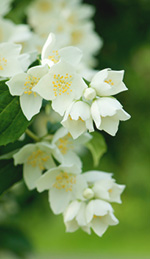 Use Jasmine Oil to Center the Mind and Relieve Stress