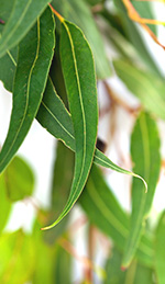 Radiata Oil - A Gentle Relative of Eucalyptus Oil With Similar Properties