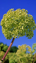Angelica Oil Has Centuries of Historical Use