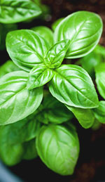 Basil Oil- A Brief Overview of Oil Types and Uses