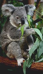 Eucalyptus Oil... Not Just for Koala Bears!