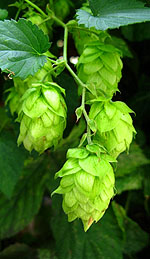 Hop Oil and Its Traditional Uses for Women in Menopause