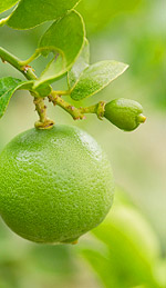 Lime Oil Is an Amazing Antidepressant That Children Love!