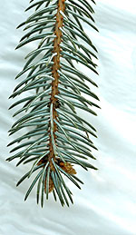 Spruce Oil Has Adrenal and Respiratory Support Properties
