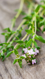 Thyme Oil and Its Antiseptic Uses in Medical History